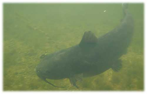 Oneida Catfish